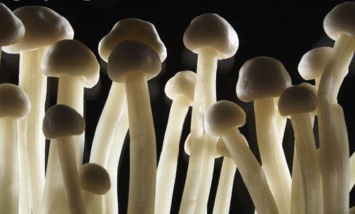 Галлюциногенные грибы: Рис.1