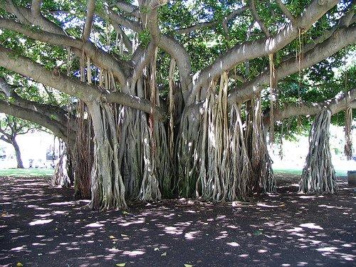 Структура дерева баньян