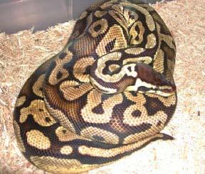 Змеи: Рис.3