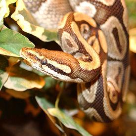 Змеи: Рис.4