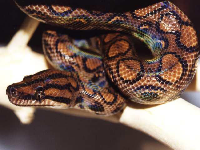 Змеи: Рис.9