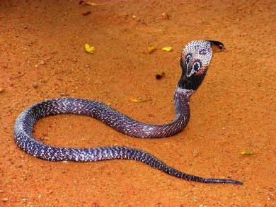 Змеи: Рис.12