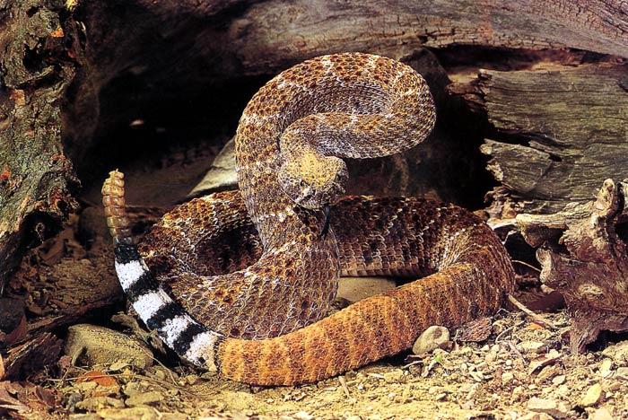 Змеи: Рис.13