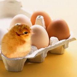 Рождение цыпленка: Рис.1