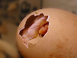 Рождение цыпленка: Рис.4