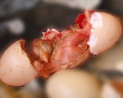 Рождение цыпленка: Рис.5