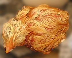 Рождение цыпленка: Рис.7