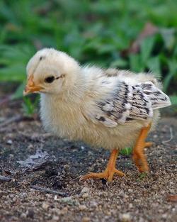 Рождение цыпленка: Рис.8