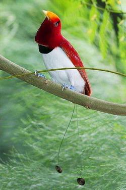 Райская птица - одно из самых таинственных существ на земле.