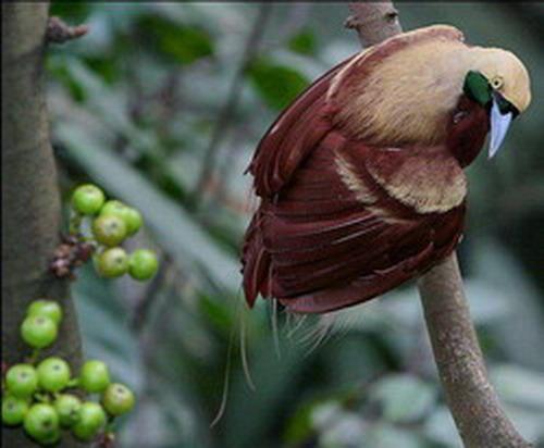К слову сказать не все представители Райских птиц выглядят красиво, есть множество других