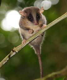 Гигантская крыса: Рис.2