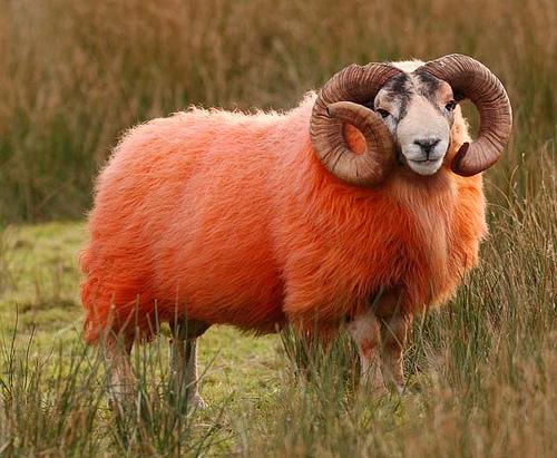 Окрашенные овцы: Рис.4