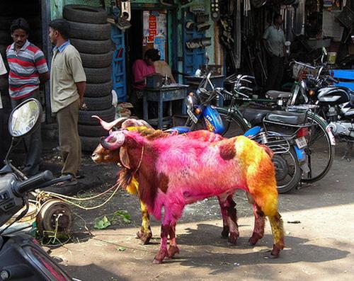 Окрашенные овцы: Рис.5