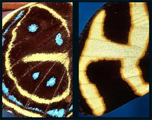 Алфавит  бабочки: Рис.6
