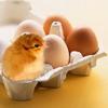 Рождение цыпленка