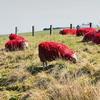 Окрашенные овцы