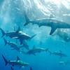 Акулы как хобби