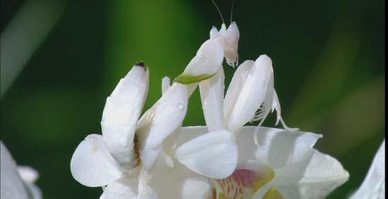 Богомолы-маскировщики: Рис.1