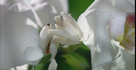 Богомолы-маскировщики: Рис.2