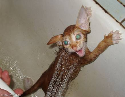 Кошки в воде и под водой: Рис.4