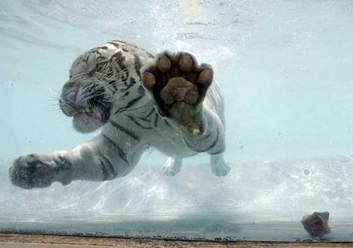 Кошки в воде и под водой: Рис.6