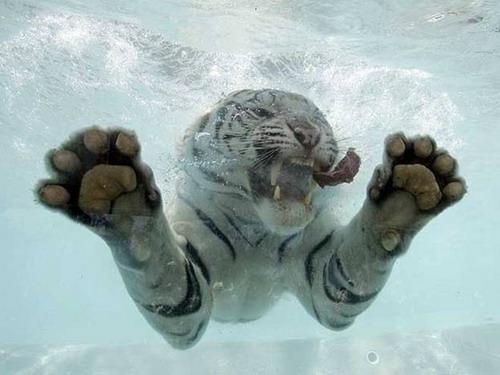 Кошки в воде и под водой: Рис.7