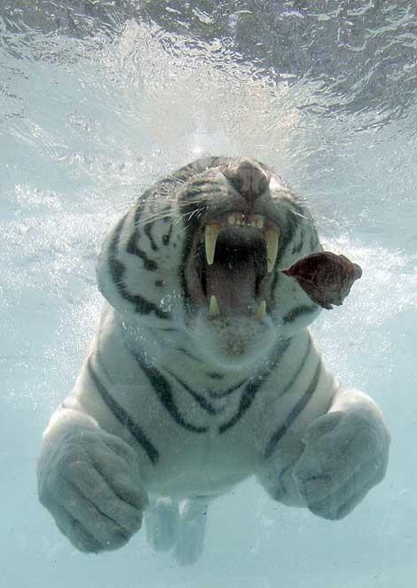 Кошки в воде и под водой: Рис.8