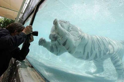Кошки в воде и под водой: Рис.10
