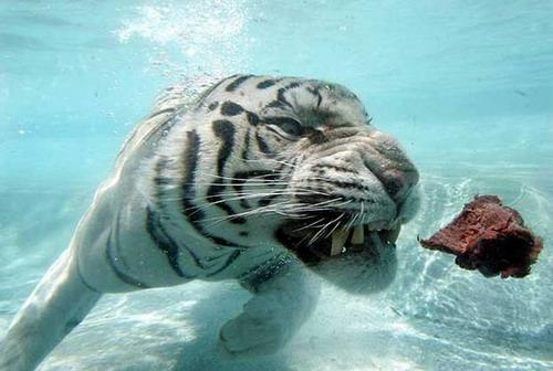 Кошки в воде и под водой: Рис.11