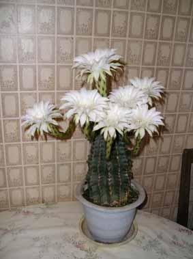 Почему кактусы обходятся без воды?: Рис.3
