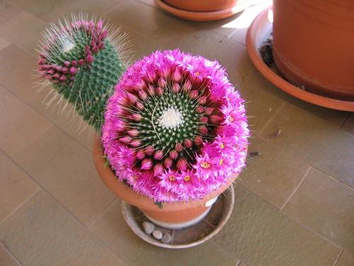 Почему кактусы обходятся без воды?: Рис.5