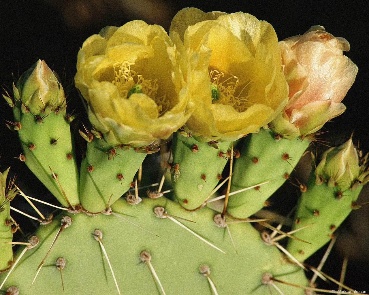 Почему кактусы обходятся без воды?: Рис.6