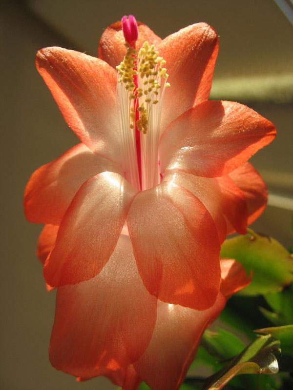 Почему кактусы обходятся без воды?: Рис.7