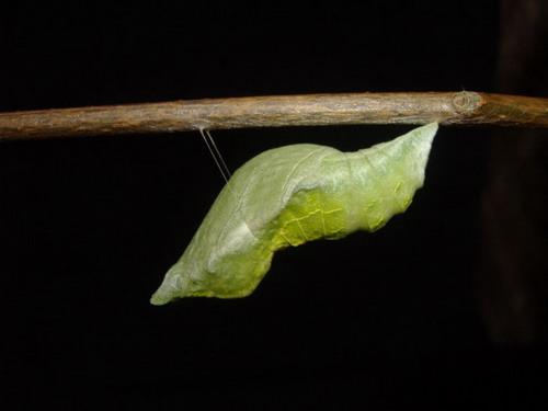 Бабочки: Рис.6