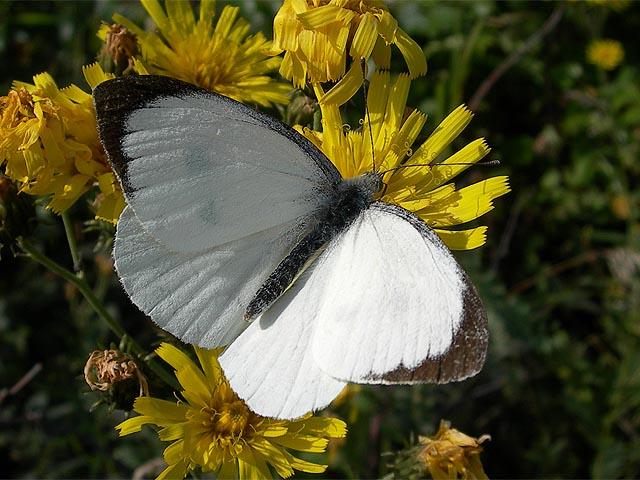 Бабочки: Рис.11