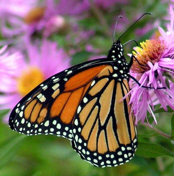 Бабочки: Рис.12