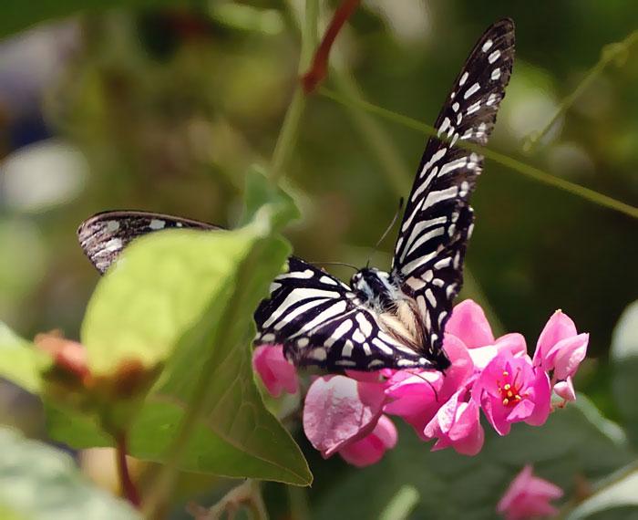 Бабочки: Рис.15