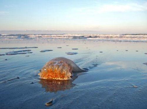 Гигантские медузы: Рис.1