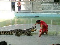 Шоу крокодилов: Рис.9