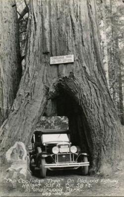 Деревья-гиганты: Рис.1