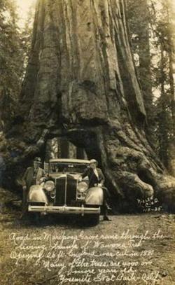 Деревья-гиганты: Рис.2