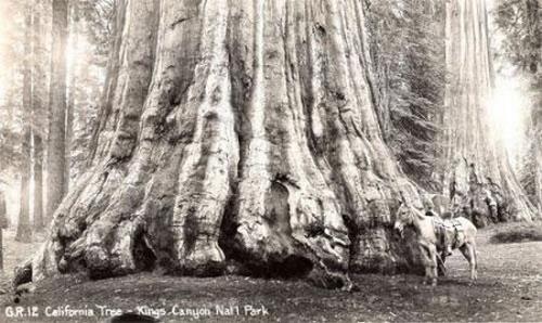 Деревья-гиганты: Рис.4