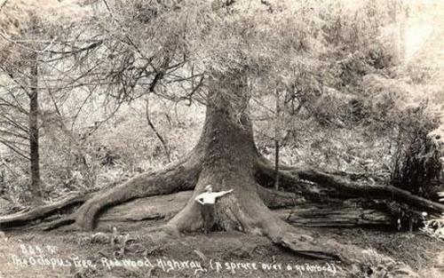 Деревья-гиганты: Рис.6