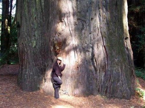 Деревья-гиганты: Рис.8