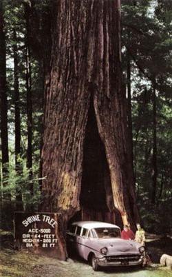 Деревья-гиганты: Рис.13