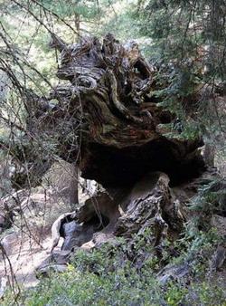 Деревья-гиганты: Рис.14
