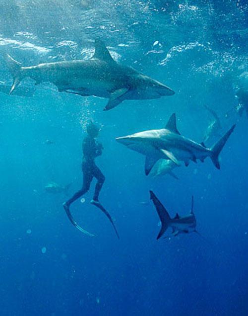 Акулы как хобби: Рис.1