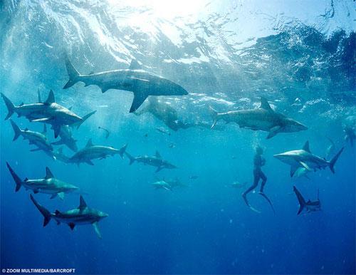 Акулы как хобби: Рис.2