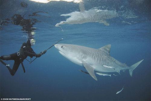 Акулы как хобби: Рис.3