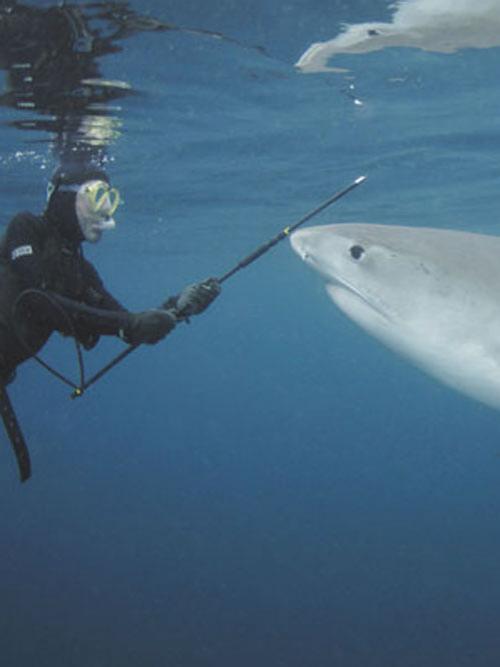 Акулы как хобби: Рис.4